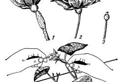 Ручное опыление цветков
