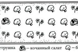 Схема совместного выращивания брокколи, петрушки и кочанного салата.