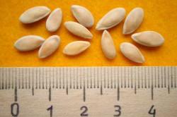 Выращивание семян огурца