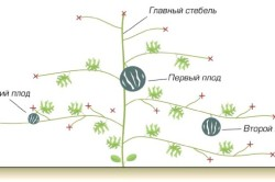 Схема формирования арбузов