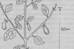 Как правильно выращивать баклажаны: уход, полив и подкормка