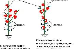 Схема формирования детерминантных томатов в 1 и 2 стебля.