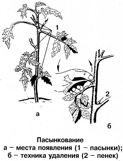Схема пасынкования огурцов.
