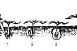 Схема пикирования сеянцев перца