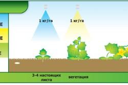 Схема подкормки арбуза