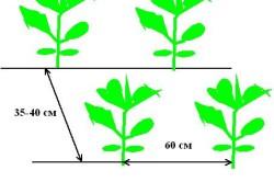 Схема размещения рассады белокочанной капусты.