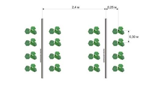 Схема посадки огурцов на грядке с капельным поливом
