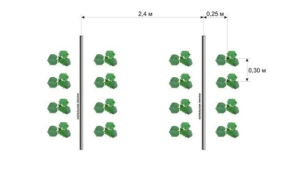 Посадка тыквы рассадой расстояние 31