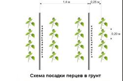 Схема посадки перцев в грунт