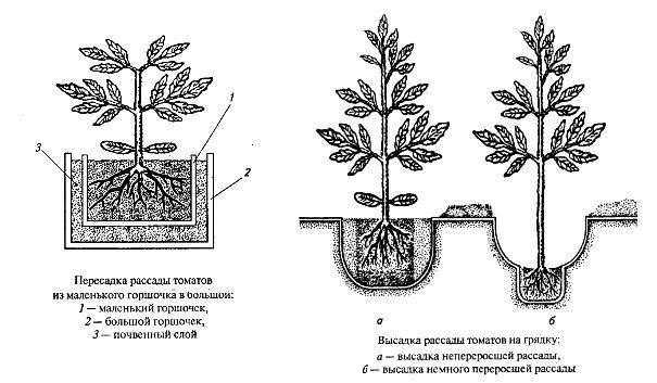 Схема посадки томатов в грунт