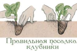 Схема правильной посадки кустов клубники в землю