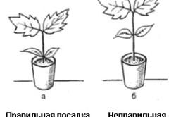 Схема правильной и неправильной посадки сеянца баклажана.
