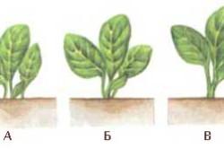 Схема правильной глубины посадки капусты