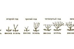 Схема развития виноградного куста