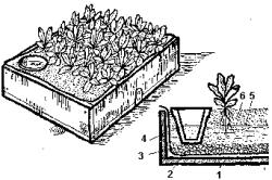 Схема выращивания рассады вербены из семян без почвы