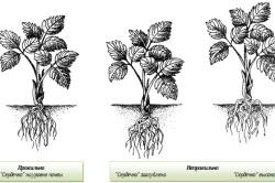 Схема высадки клубники
