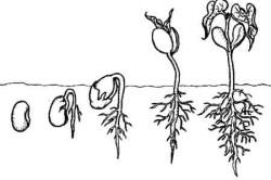 Схема всхода баклажана.