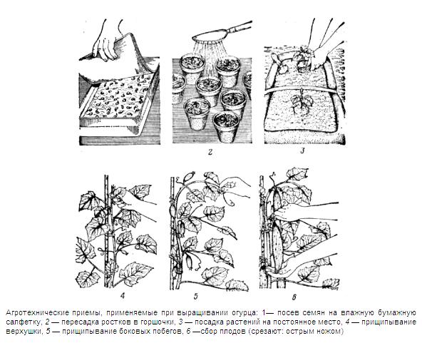 Схема выращивания огурцов.