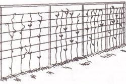 Схема подвязки помидоров-черри.