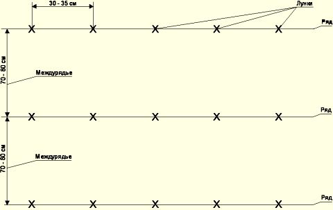 Схема посадки дыни.
