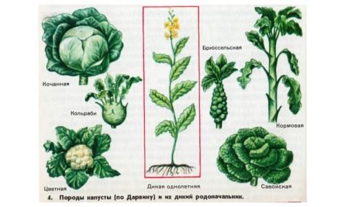 Породы капусты
