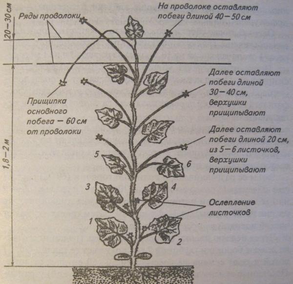 Схема формирования огурца.