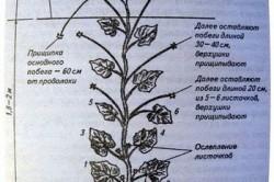 Формирование посадок огурцов в теплице