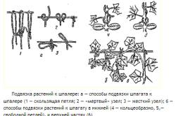 Схема подвязки растений к шпалере