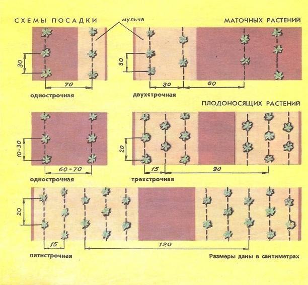 Схема посадки земляники и