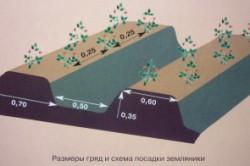 Схема высадки земляники в грядку