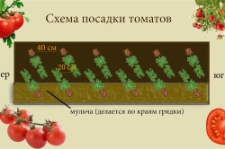 Схема посадки томатов.