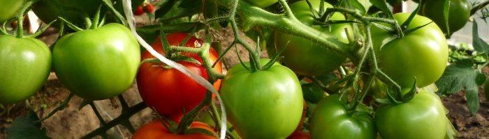 Выращивание томатов в мешках в открытом грунте 20