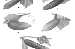 Сорта огурцов