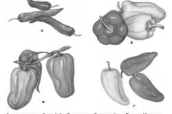 Сорта перцев