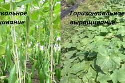 По способу выращивания огурцы подразделяются на вертикальные и горизонтальные.