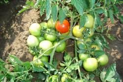 Штамбовые помидоры