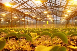 Чтобы ускорить плодоносный период данного сорта клубники, накройте почву для согрева, при недостатке освещения, поставьте люминесцентные лампы.