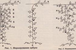 Схема формирования дыни и арбуза