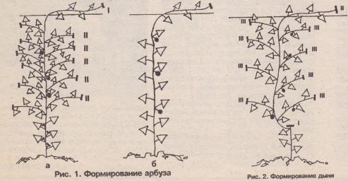 Схема формирования плодов дыни