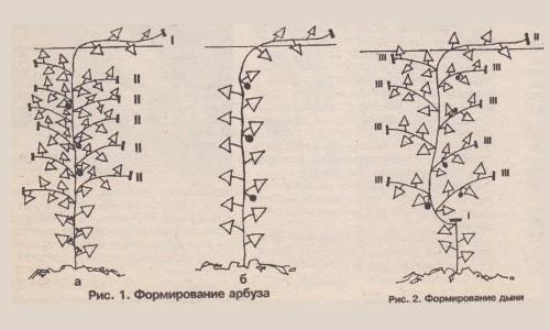 Схема формирования плодов дыни и арбуза