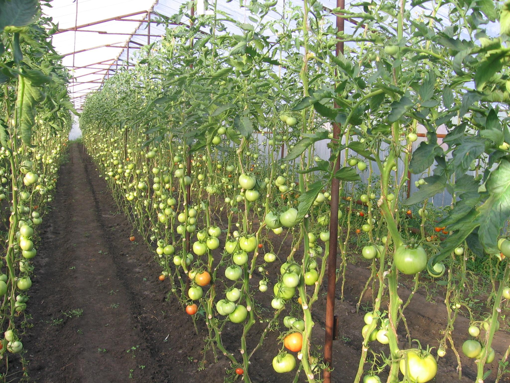 Для чего надо есть помидоры