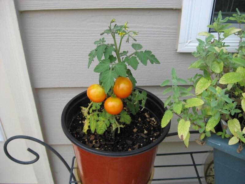 Выращивание томатов зимой