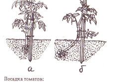 Варианты посадки томатов