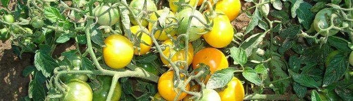 Самые лучшие и урожайные сорта томатов для теплиц
