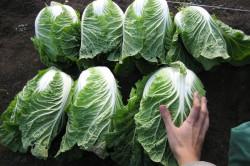 Урожай капусты по методу Митлайдера
