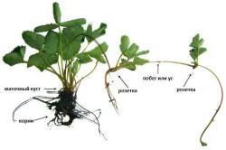 Схема размножения клубники усиками