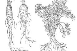 Виды петрушки