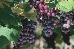Выращивание винограда.