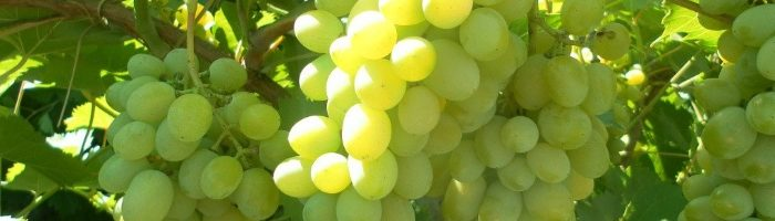 Как вырастить виноград у себя дома