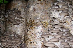 Выращивание грибов с помощью полиэтиленовых мешков